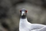 Ecuador, Galapagos Islands, Genovesa, Darwin Bay Beach. Swallow-Tailed Gull Portrait Photographic Print by Ellen Goff