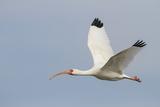 White Ibis in Flight Reproduction photographique par Larry Ditto