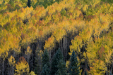Colorado. Autumn Yellow Aspen, Fir Trees, Uncompahgre National Forest Photographic Print by Judith Zimmerman