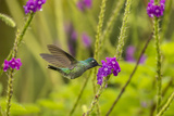 Central America, Costa Rica, Arenal. Violet-Headed Hummingbird Feeding Photographic Print by Jaynes Gallery