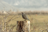 A California Quail on a Fence Post in the Carson Valley of Nevada Photographic Print by John Alves