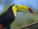 Keel-Billed Toucan, Honduras Photographic Print by Tim Fitzharris