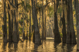 Louisiana, Atchafalaya Basin. Cypress Trees with Spanish Moss Photographic Print by Jaynes Gallery