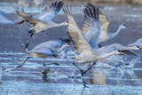 New Mexico, Bosque Del Apache National Wildlife Refuge. Sandhill Cranes Flying Photographic Print by Jaynes Gallery
