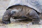 Ecuador, Galapagos Islands, Isabela, Urvina Bay, Galapagos Giant Tortoise Walking Fotoprint van Ellen Goff