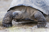 Ecuador, Galapagos Islands, Isabela, Urvina Bay, Galapagos Giant Tortoise Walking Photographic Print by Ellen Goff