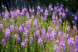 Fireweed Blooms in Late Summer in the Mountain Regions Photographic Print by Richard Wright
