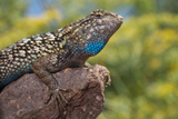 California. Blue Belly Lizard on Rock Photographic Print by Jaynes Gallery