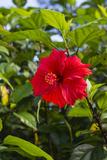 Cuba, Artemisa, Las Terrazas, Hibiscus Flower Photographic Print by Inger Hogstrom