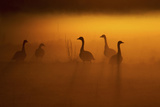 Canada Geese, Misty Dawn Photographic Print by Ken Archer
