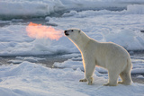 Norway, Svalbard, Spitsbergen. Polar Bear with Backlit Breath Photographic Print by Jaynes Gallery