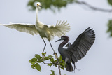 Louisiana, Miller's Lake. Snowy Egret and Little Blue Heron Fighting Photographic Print by Jaynes Gallery