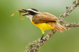 Texas, Hidalgo County. Kiskadee Eating Frog Photographic Print by Jaynes Gallery