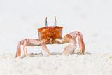 Ecuador, Galapagos Islands, San Cristobal, Cerro Brujo. Ghost Crab Portrait Photographic Print by Ellen Goff