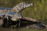 Brazil, Cuiaba River, Pantanal Wetlands, Three Yacare Caiman Photographic Print by Judith Zimmerman