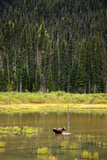 Cow Moose Feeding on Aquatic Plants in a Mountain Marsh Photographic Print by Richard Wright
