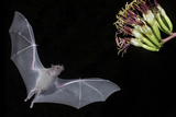 Arizona, Green Valley, Lesser Long-Nosed Bat Drinking Nectar from Agave Blossom Photographic Print by Ellen Goff