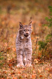 A Bobcat Out Hunting in an Autumn Colored Forest Photographic Print by John Alves