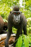 Asia, Indonesia, Sulawesi. Crested Black Macaque Juvenile in Rainforest Fotografisk trykk av David Slater