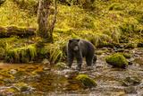 Canada, British Columbia, Inside Passage. Black Bear Fishing on Riordan Creek Photographic Print by Jaynes Gallery