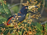 Collared Aracari Calling in the Trees, Honduras Photographic Print by Tim Fitzharris