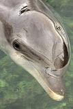 Mexico, Caribbean. Tursiops Truncatus, Common Bottlenose Dolphin Portrait Photographic Print by David Slater