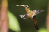 Rufous-Breasted Hermit Photographic Print by Ken Archer