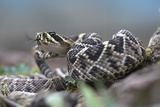Threat Display of a Young Eastern Diamondback Rattlesnake, Costa Rica Photographic Print by Tim Fitzharris