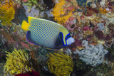 Indonesia, Bima Bay. Angelfish and Coral Photographic Print by Jaynes Gallery
