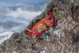 Ecuador, Galapagos Islands, Isabela, Urvina Bay, Sally Lightfoot Crab on a Rock Photographic Print by Ellen Goff