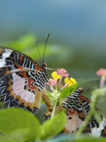 Indian Lacewing Butterflies Mating on Lantana, Philippines Photographic Print by Tim Fitzharris