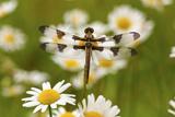 Female Blue Dasher Dragonfly on Daisy, Pachydiplax Longipennis, Kentucky Photographic Print by Adam Jones