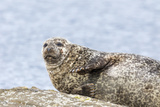Harbor Seal on the Coast of the Shetland Islands. Scotland Photographic Print by Martin Zwick