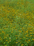 Black-Eyed Susan'S, Texas, Usa Photographic Print by Tim Fitzharris