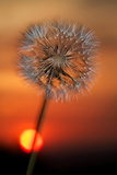 California. Dandelion at Sunset Photographic Print by Jaynes Gallery