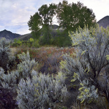 Close-Up of Sagebrush, Salmon River Mountains, Challis National Forest, Idaho, Usa Photographic Print by Tim Fitzharris