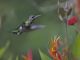 White-Necked Jacobin Hummingbird Female, Costa Rica Photographic Print by Tim Fitzharris