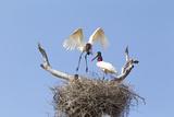 Brazil, Mato Grosso, the Pantanal. Jabiru Flying into the Nest Reproduction photographique par Ellen Goff