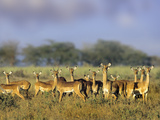 Impala Herd, Kenya, Africa Photographic Print by Tim Fitzharris