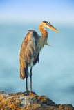 Mexico, Yucatan. Great Blue Heron, Ardea Herodias, Standing on Coastal Rocks in Warm Light Photographic Print by David Slater