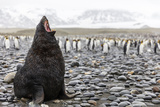 South Georgia Island, Salisbury Plains. Fur Seal Makes Warning Call to Protect His Territory Photographic Print by Jaynes Gallery