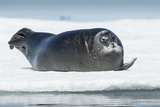 Canada, Nunavut Territory, Repulse Bay, Bearded Seal Resting in Summer Sun on Sea Ice on Hudson Bay Photographic Print by Paul Souders