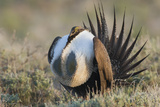 Sage Grouse, Courtship Display Photographic Print by Ken Archer