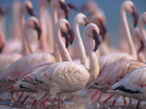 Group of Lesser Flamingos, Kenya, Africa Photographic Print by Tim Fitzharris
