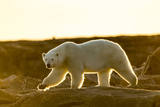 Canada, Setting Midnight Sun Lights Polar Bear Walking Along Rocky Shoreline by Hudson Bay Photographic Print by Paul Souders
