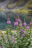 Alaska, Hatchers Pass, Summit Lake Fireweed Photographic Print by Savanah Stewart