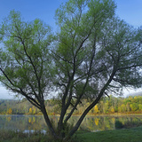 Willow Tree at Lackawanna Lake in Autumn, Lackawanna State Park, Pennsylvania, Usa Photographic Print by Tim Fitzharris