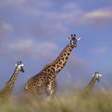 Giraffe at Sunset, Kenya, Africa Photographic Print by Tim Fitzharris
