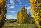 Poplar Trees and Farmland in Autumn, Near Lovells Flat, South Otago, South Island, New Zealand Photographic Print by David Wall