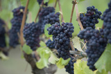 Canada, British Columbia, Cowichan Valley. Purple Grapes Hanging on a Vine at a Vineyard Photographic Print by Kevin Oke
